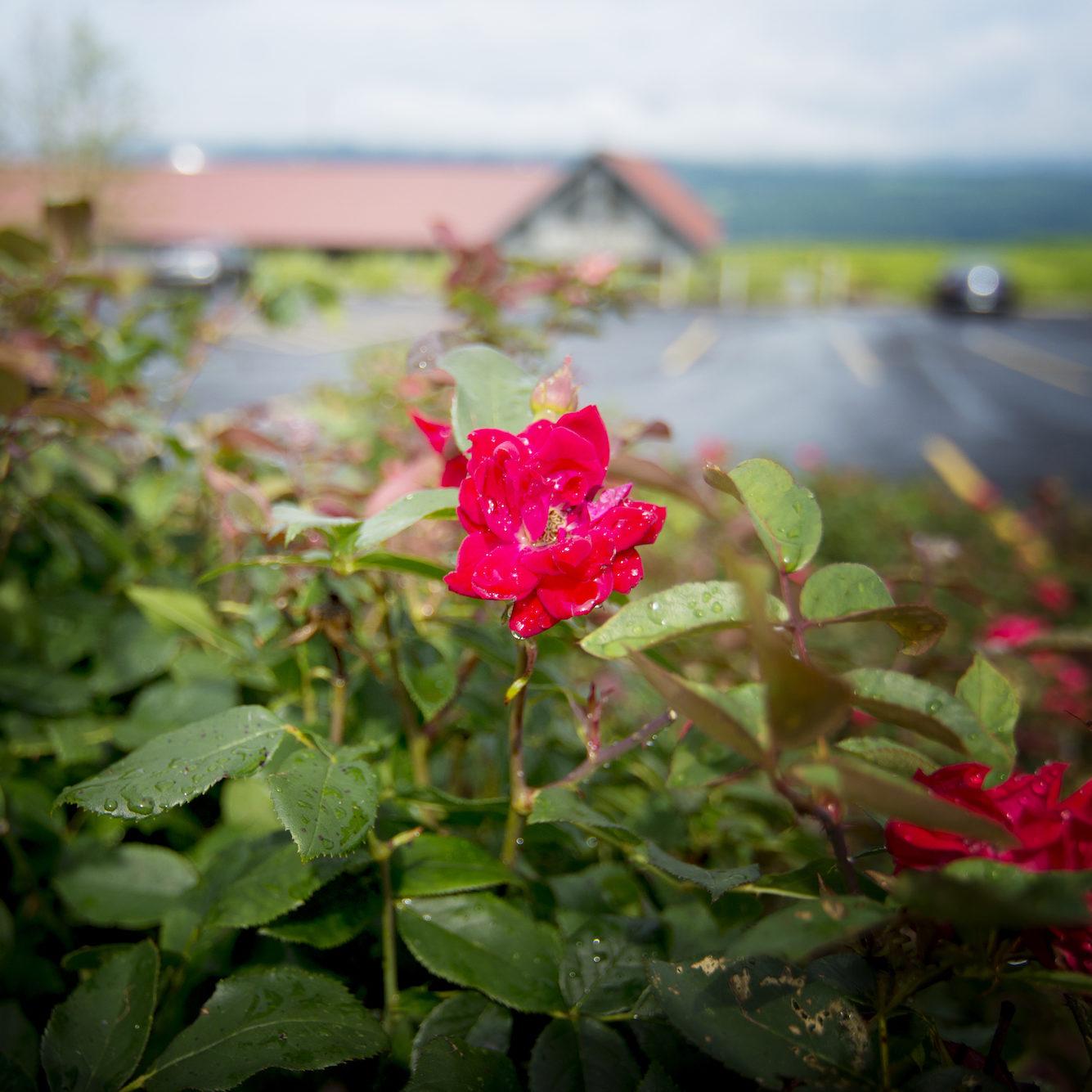 Lakewood Vineyards' Rose   Finger Lakes Vineyards